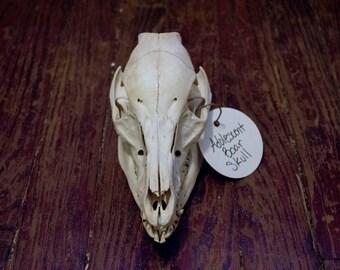 Adolescent Boar Skull