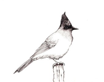 "Stellar Jay b/w Print: Digital print of an original drawing available 5x7"" or 8x10"""