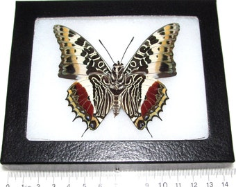 One Real Framed Butterfly Charaxes Castor Verso