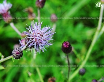Canadian Thistle, Purple Wildflower, Nature Photography, Fine Art, Botanical, Macro, Botany, Plants