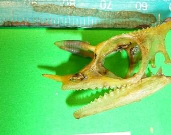 Three Horned Chameleon Skull #652