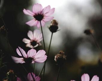 nature photograph - Autumn Cosmos - Elegant Cosmos - Floral Wall Art - Nature Art - Autumn Flower - Wall Decor - Pink Flower - Fine Art