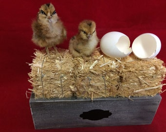 Taxidermy 2 Brown Chicks and Eggs in Hay Container//Farm-country decor-kitchen