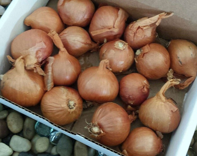 Organic Red Dutch Shallots | Gourmet Shallot Bulbs | 15 Bulbs Non-GMO | For Planting or Cooking