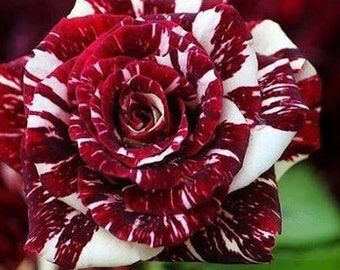Dark red white rose seeds,359, flower roses seeds,roses from seeds,planting roses,growing roses from seeds,seeds for roses
