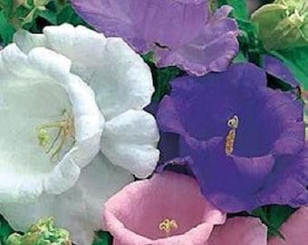 50+ Double Mix Canterbury Bells Heirloom Campanula / Perennial Flower Seeds