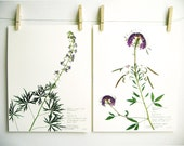 Print Set of 2 Purple Colorado Wildflowers, Herbarium Specimen Pressed Flower Print Set, Larkspur and Rocky Mountain Beeplant, nos. 184, 172