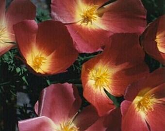 Poppy-  Purple Gleam- 500 seeds per pack