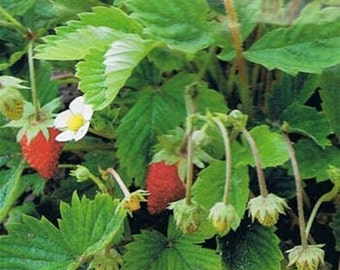 Wild Strawberry- 100 Seeds-