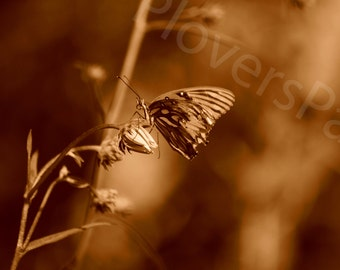 Butterfly Photograph // Sepia Photo // Florida Nature Photography // Butterfly and Flower Print