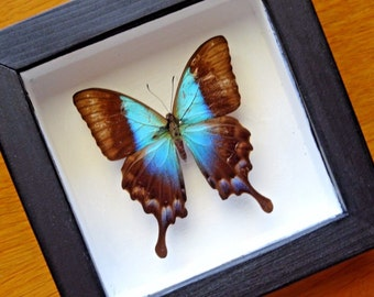 Real Papilio Pericles Framed - Taxidermy - Home Decoration - Collectibles