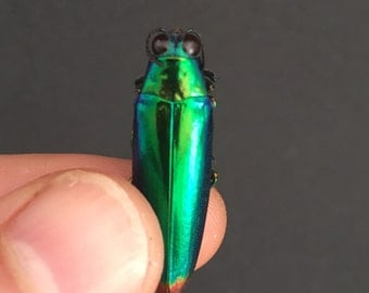 Insect Supplies | 5x Chrysochroa  fulminans BUPRESTIDAE | Jewel Beetle | Insect Art | Entomology