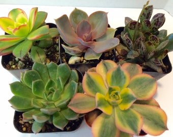 Small Succulent Plant Assortment of Two Inch Plants available as a single plant, two or three plants.