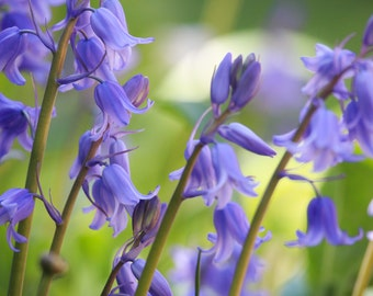 Instant Digital Download Fine Art Nature Photography - Spring Bluebells
