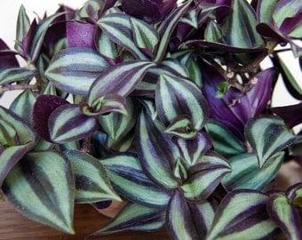 Purple Wandering Jew Plants in 4 Inch Pots