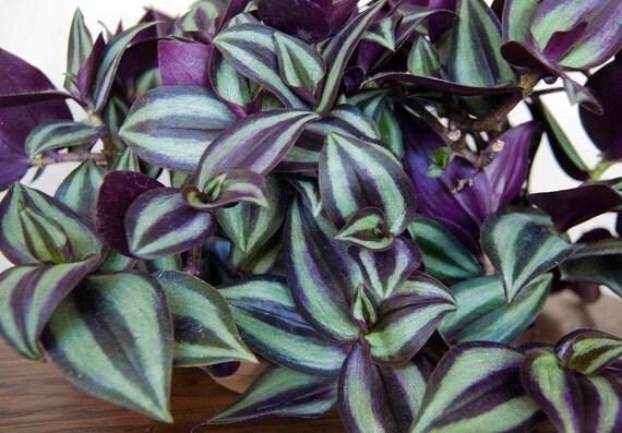 Purple wandering jew plants in 4 inch pots - Purple wandering jew plant ...