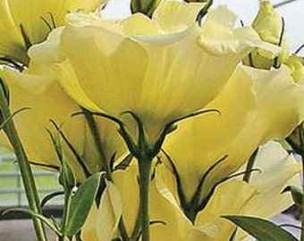 Yellow Lisianthus Flower Seeds / Annual 25+