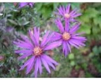 New England Novae Aster Flower Seeds / Perennial 30+