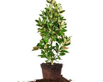 Little Gem Magnolia, 3-4 ft.