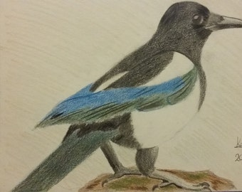 Copy of Magpie Coloured Pencil Drawing