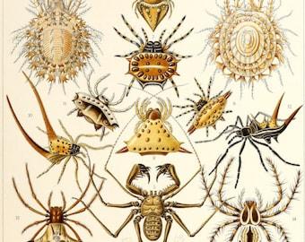 Ernst Haeckel, Spider Poster, Spider Print, Arachnid Scientific Illustration, Natural History Art, Wall Art, Halloween, spider art, 002