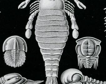Horseshoe Crabs, Trilobite Fossils, Fossils Trilobite, Scientific Art, Art Scientific, Ernst Haeckel Art, Ernst Art, Ernst Haeckel, Drawings