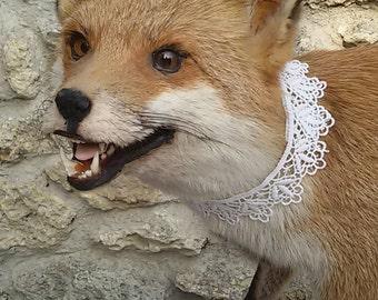 Former great taxidermy European Red Fox