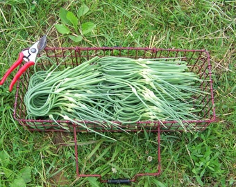 1 - 2 lbs Garlic Scapes - Garlic - Fresh Garlic - Garlic Pesto Sauce - Hardneck Garlic -