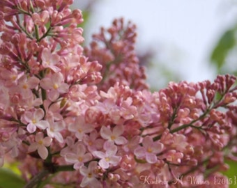 Pink Lilacs on canvas -- SAVE 10 & free shipping!!!