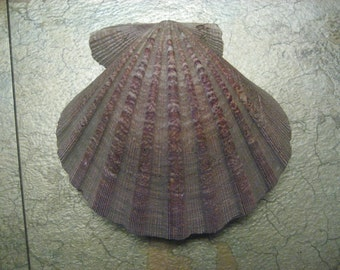 "6""x6"" 2-sided Scallop Shell"