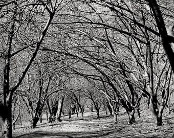 canopy of trees, Central Park, NY 1997.
