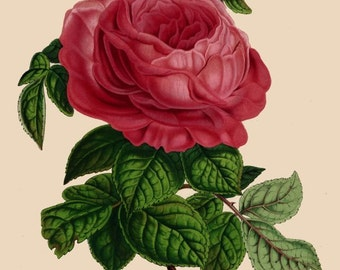 antique french victorian botanical print pink rose Marie Thierry illustration digital download