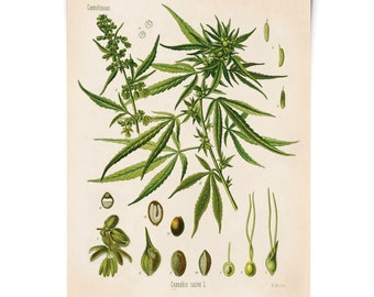 Cannabis marijuana Chart Poster - Vintage Sativa Diagram Print - Chart Diagram Poster from Kohler's Botanical. Medicinal Plant Guide - CP247