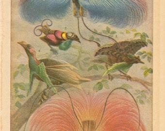 1896 Blue Bird-of-Paradise, Wilson's Bird-of-Paradise, Superb Bird-of-Paradise, Standardwing, Red Bird-of-Paradise Vintage Print