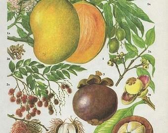 Vintage Botanical Print Antique MANGO, plant print botanical print, bookplate art print, rambutan lychee fruit plants plant wall
