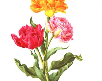 1972 Vintage tulip painting Double tulip art Botanical poster of tulips French country decor Goya tulip print Electra tulip watercolor