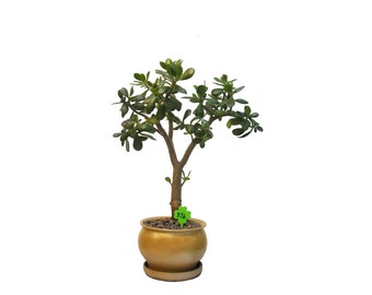 "Jade Plant Crassula Ovata 12 Year Old 25"" Tall Plant in a Yellow Gold Round Ceramic Planter #376"