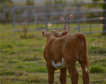 Photo of Calf at Sunset  Digital Download