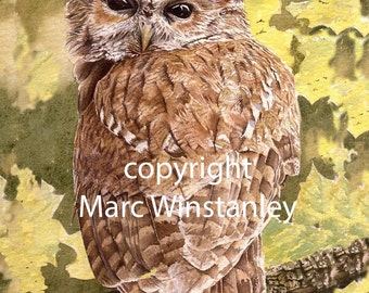Tawny Owl print from an original watercolour painting by Marc Winstanley