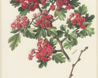 Hawthorn Tree, 1960 Vintage Botanical Print, Crataegus monogyna, Flora Lithograph, Botany Illustration, Home Wall Decor, Rotdorn, Whitethorn