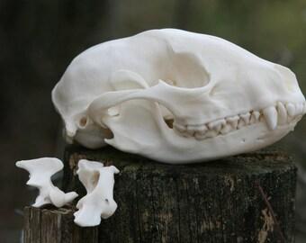 Raccoon Skull 001