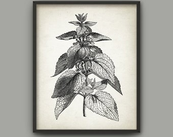 Nettle Antique Botanical Art Print - Nettle Print - Nettle Poster - Nettle Book Plate Illustration - Nettle Picture - AB489