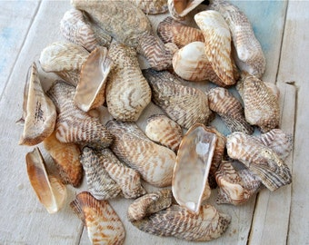 Turkey Wing Shells, Genuine Sea Shells, Greek Sea Shells, Shells For Crafts, Beach Finds