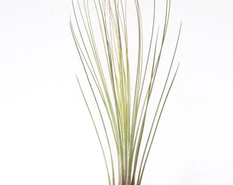 Tillandsia Juncea Air Plant