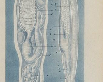 1874 Antique ECHINODERMS print, marine invertebrates morphology, natural sciences, marine biology