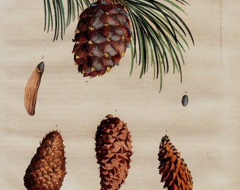 1838 Antique print of pine cone, pine cone tree study, botanilcal print, autumn, original antique 179 years old