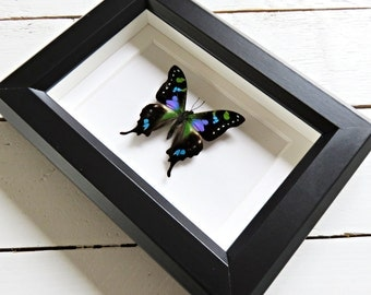 Real framed butterfly: Graphium weiskei // colorful // shadowbox // mounted // housewarming gift // blue green purple butterfly