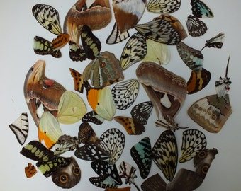 Real butterfly wings - LAST ONE - ideal for decoupage,scrapbook,framed,jewellery & craftwork