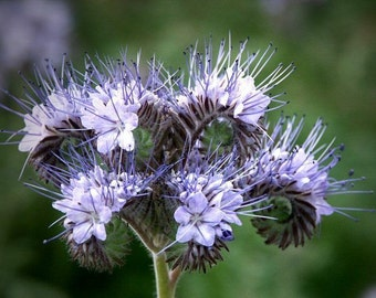 Lacy Phacelia - Phacelia tanacetifolia (250 seeds)