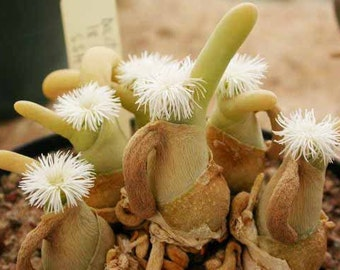 Dactylopsis Digitata Seeds Mesembryanthemum Succulent